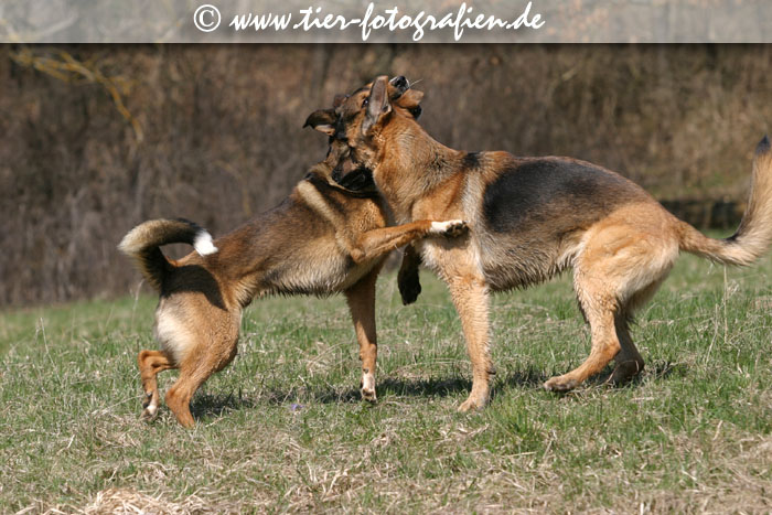 Deutscher Schäferhund und Mischling beim Spielen