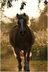 Haflinger Fotos / Haflingerfotos