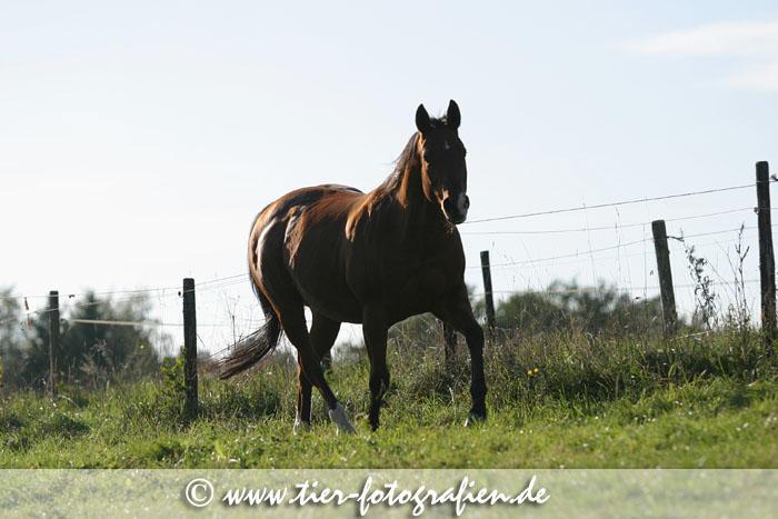 Quarter Horse Stute im Gegenlicht