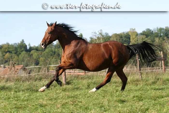 Quarter Horse Stute im Galopp