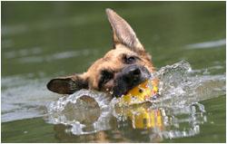 Deutscher Schäferhund Fotos