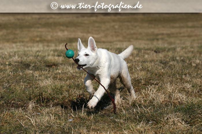 Weißer Schäferhund Welpe