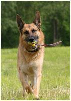 Deutscher Schäferhund Fotos / Bewegungsfotos