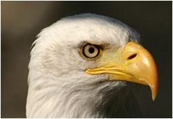 Greifvogel - Weißkopfseeadler