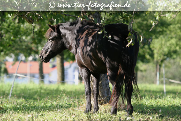Islandpferd Stute