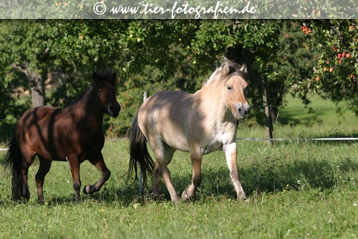 Ponyherde