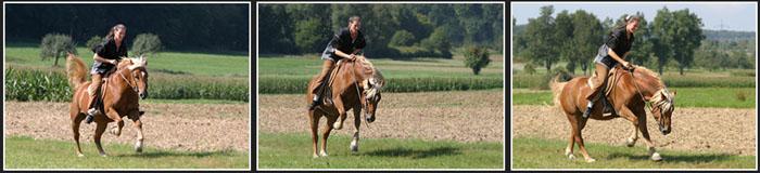 Haflinger Rodeo