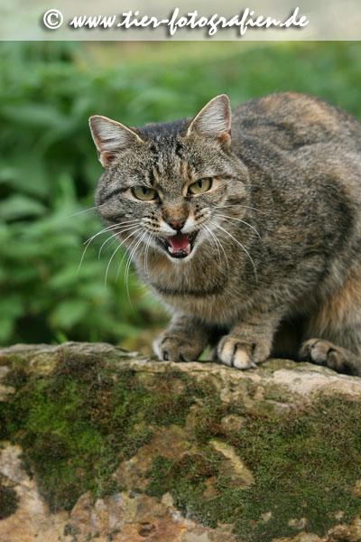 getigerte Katze