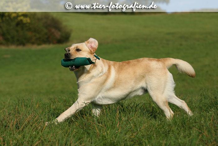 Labrador Retriever Lines