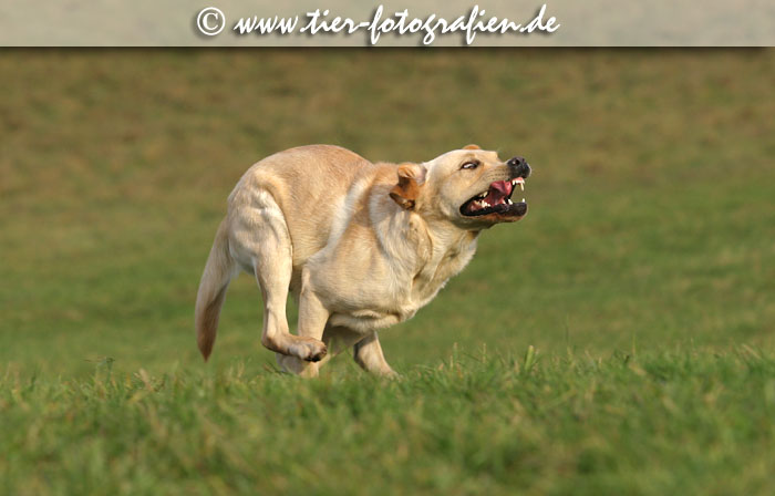 Labrador Retriever Lines