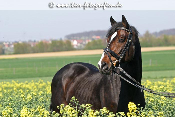 Mecklenburger Hengst