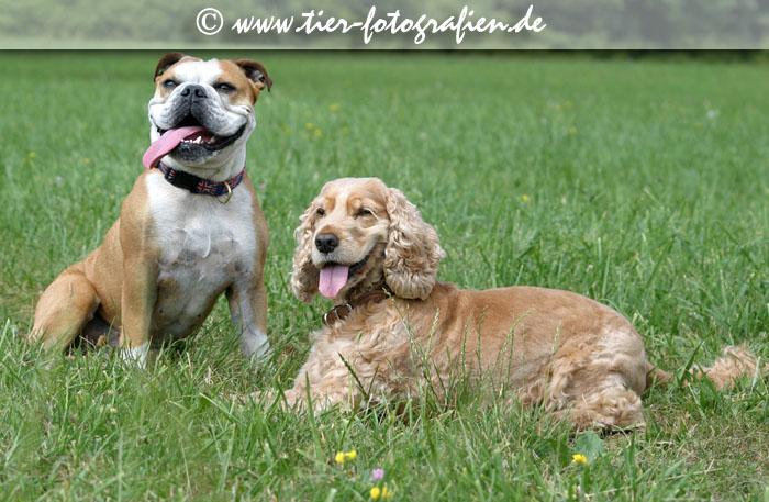 Englische Bulldogge und Englischer Cockerspaniel