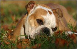 Englische Bulldogge & Cockerspaniel Fotos