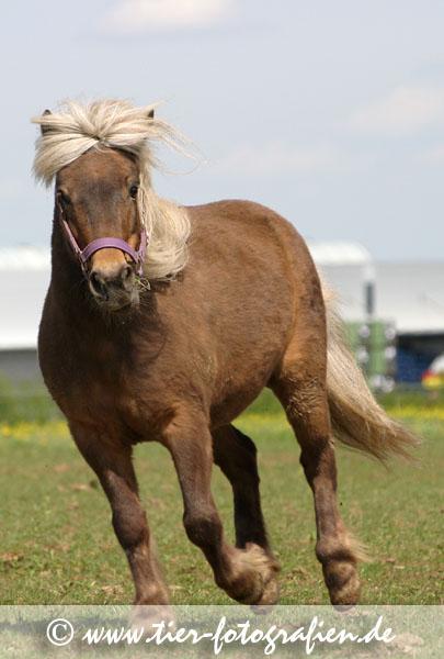 Classic Shetland Pony