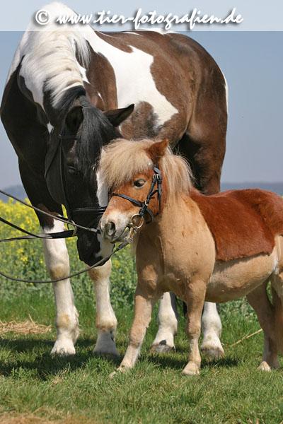 Shetland Pony & Warmblut
