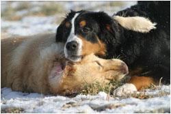 Golden Retriever und Berner Sennenhund beim Spielen