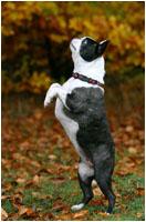 Boston Terrier macht Männchen - Hunde Fotoshooting