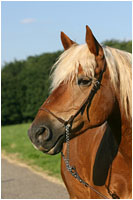 Haflinger Wallach mit Showhalfter - Pferde Fotoshooting