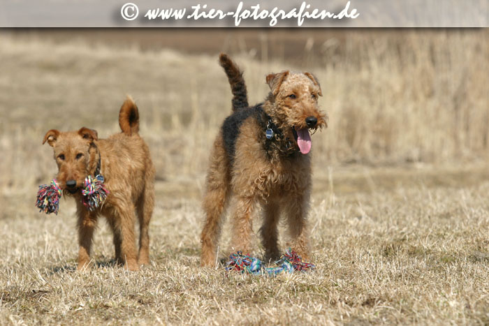 Airedale und Irish Terrier