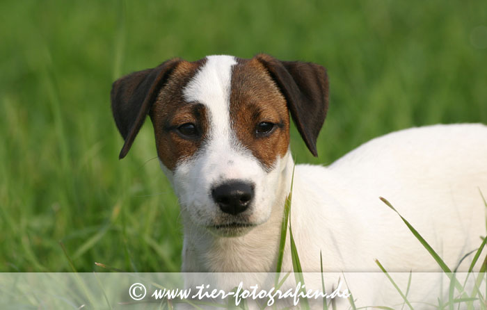 Jack / Parson Russell Terrier