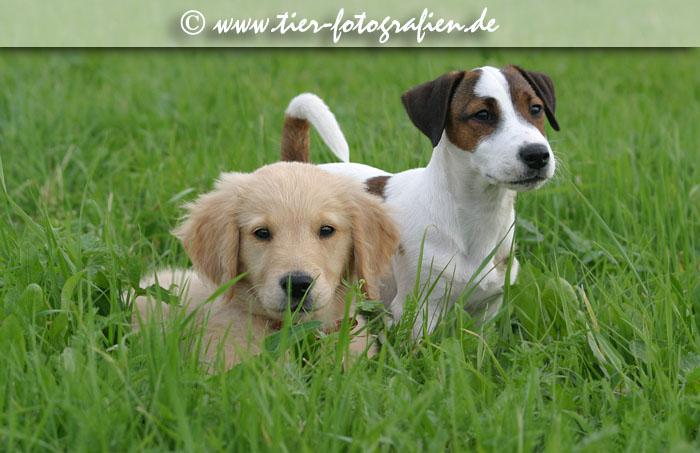 Golden Retriever Welpe und Jack Russell Terrier