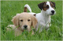 Jack Russell Terrier und Golden Retriever Welpe