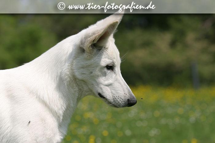 Weißer Schäferhund