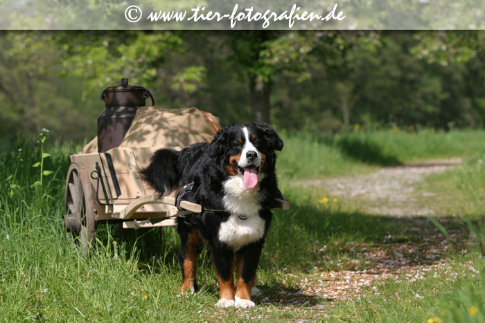 Berner Sennenhund mit Zugwagen