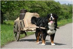Berner Sennenhund vor dem Zugwagen